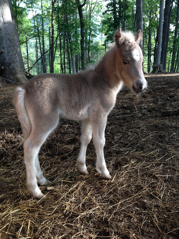Miniature Pony