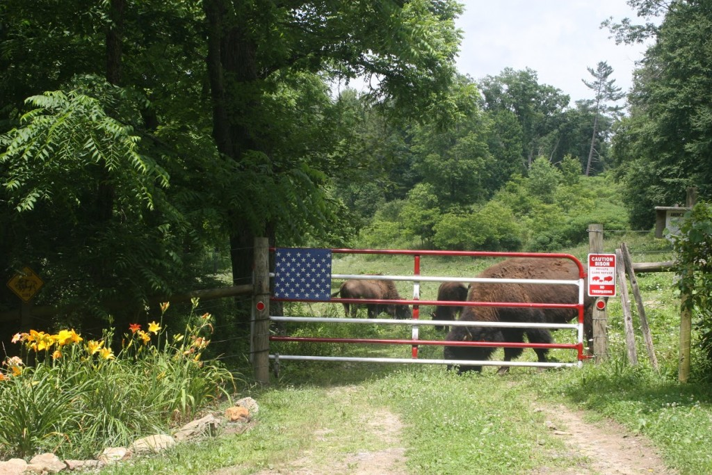 Buffalo at the Gate